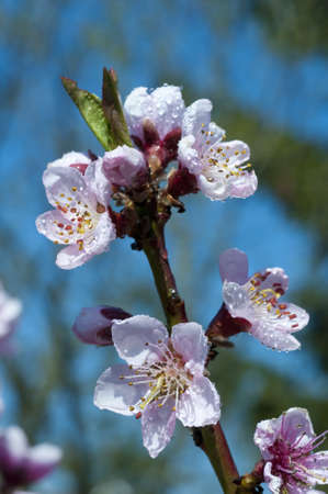 Blooming peach tree in spring after rain, close up. Stock Photo - 7030141
