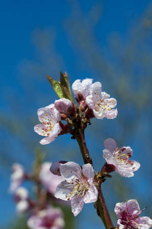 Blooming peach tree in spring after rain, close up. Stock Photo - 7030140