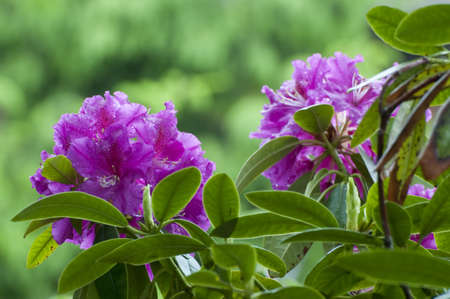 Blooming Rhododendron in a garden in mecklenburg, Germany. photo