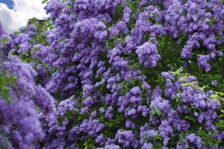 Blooming Lilac in spring, Mecklenburg, Germany.