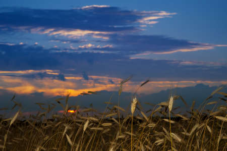 Field of rye in the evening light in summer.