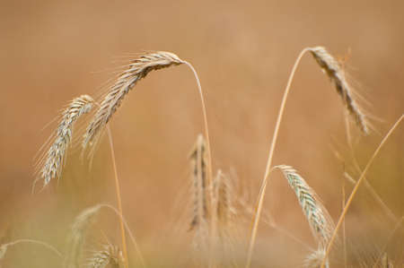 Close up of some rye plants behind unsharp background. Stock Photo