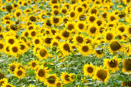 Field of Sunflowers on a bright sunny summer day Stock Photo