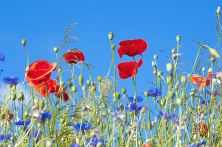 Wild poppy flowers and corn flowers against blue sky. photo