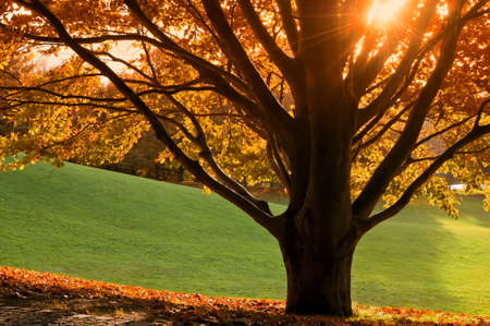 Tree in autumn with colored foliage, the sun shining through the branches, the last warm day of the year. Stock Photo