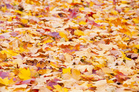 Colorful fall foliage of a maple tree in October Stock Photo