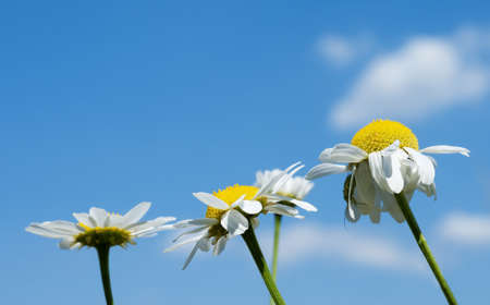 Anthemis nobilis, commonly known as Roman Chamomile, Chamomile, garden camomile, ground apple, low chamomile, English chamomile, or whig plant Stock Photo