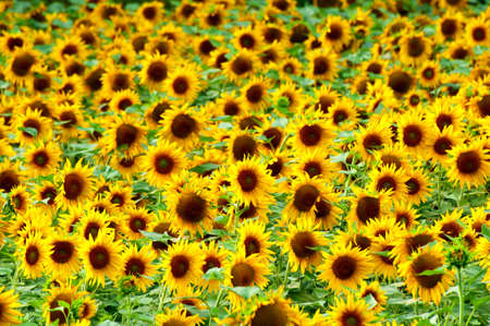 blossom honey: Sunflowers