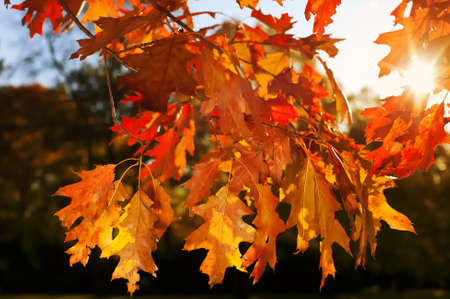 Autumnal colored leafs of an oak photo