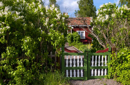 Traditionell Red Wooden House In Sweden Behind Blooming Lilac In Spring.