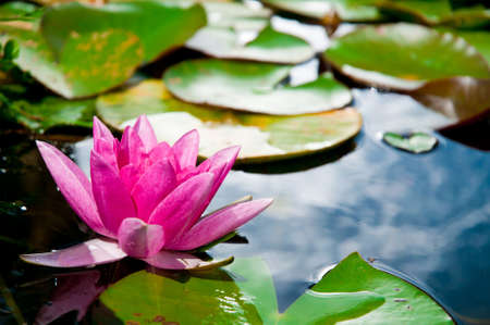 mecklenburg: Pink Water Lily, Mecklenburg, Germany Stock Photo