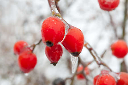 Rose Hipes covered with ice in winter