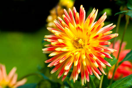 Dahlia in red and yellow in late summer. Stock Photo - 8817637