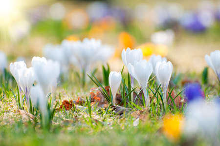 Yellow, white and purple crocuses in spring. Close up.  Stock Photo