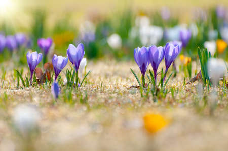 Yellow, white and purple crocuses in spring. Close up.  Imagens