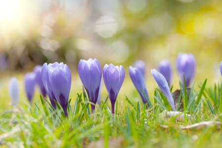 Purple crocuses in spring in the sunlight.. Close up.