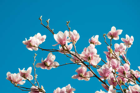 the magnolia: Blooming Magnolia tree in spring Stock Photo