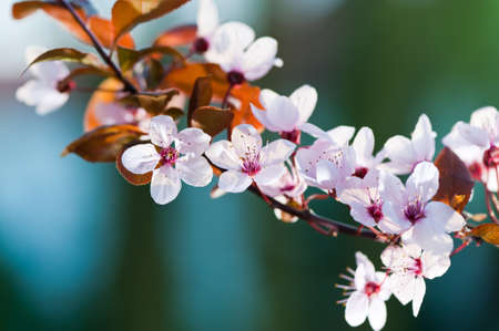 Prunus serrulata or Japanese Cherry, also called Hill Cherry, Oriental Cherry or East Asian Cherry.