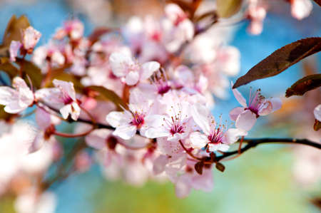 Prunus serrulata or Japanese Cherry, also called Hill Cherry, Oriental Cherry or East Asian Cherry. photo