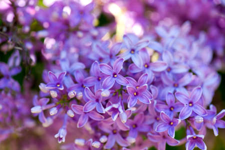Blooming Lilac in spring Stock Photo - 9514940