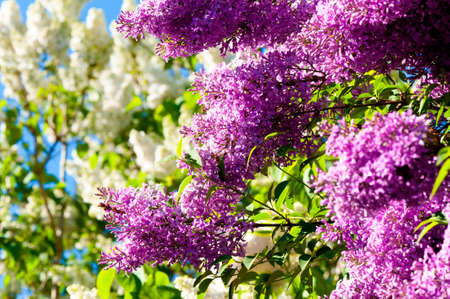 purple lilac: Blooming Lilac in spring Stock Photo