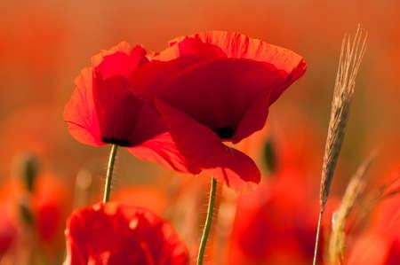 poppy field: Wilde klaprozen op een veld in Zuid-Mecklenburg, Duitsland Stockfoto