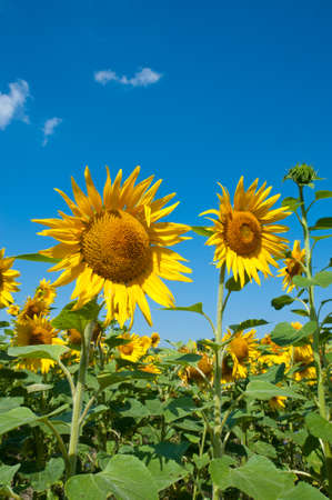 sunflower seeds: Sunflowers  under a blue sky on a bright summer day.