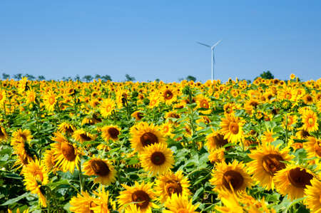 Sunflowers  under a blue sky on a bright summer day. photo