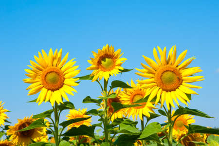 Sunflowers  under a blue sky on a bright summer day.