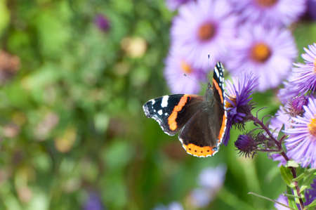 vanessa: Red Admiral butterfly on a Aster alpinus