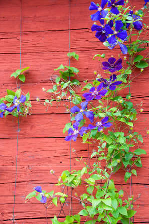 Clematis at a red wooden house in Sweden photo
