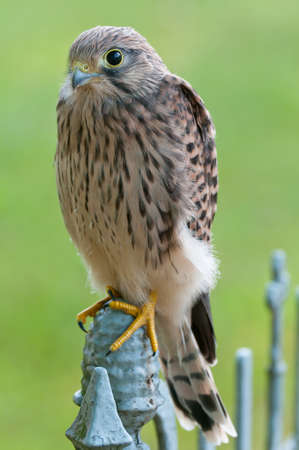 Common Kestrel (Falco tinnunculus) on an old iron fence Stock Photo