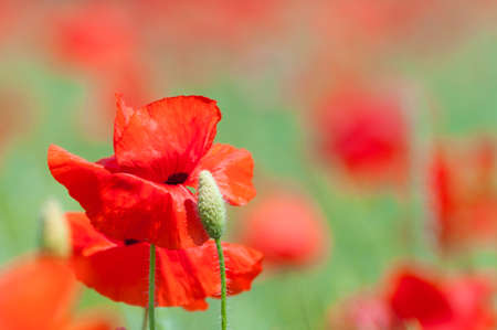 Poppy flowers a field in summer photo