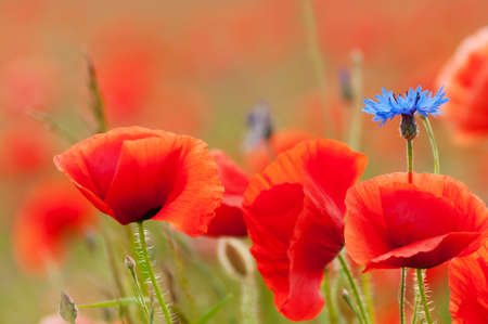 Poppy flowers and a cornflower on a field in summer photo