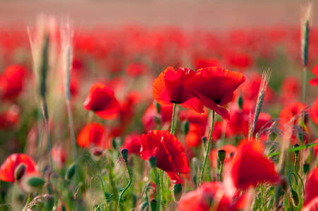 Poppy flowers a field in summer Stock Photo - 12168826