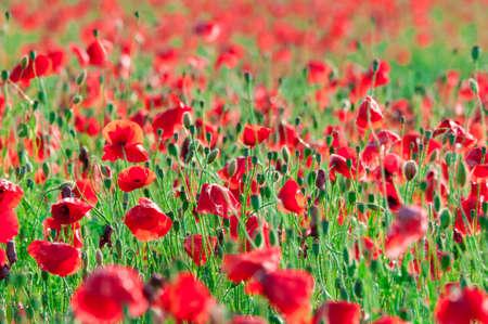 Poppy flowers a field in summer Stock Photo