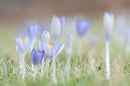 Purple crocuses in spring, close up