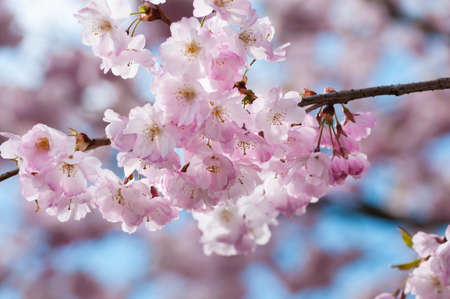 Prunus serrulata or Japanese Cherry; also called Hill Cherry, Oriental Cherry or East Asian Cherry, is a species of cherry native to Japan, Korea and China. It is known for its spring cherry blossom displays and festivals. photo