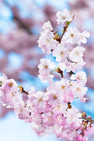 Prunus serrulata or Japanese Cherry; also called Hill Cherry, Oriental Cherry or East Asian Cherry, is a species of cherry native to Japan, Korea and China  It is known for its spring cherry blossom displays and festivals