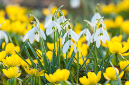 Blooming snowdrops and yellow Eranthis hyemalis in spring, in late February, early March  Close up, backlight situation  Shallow depth of field