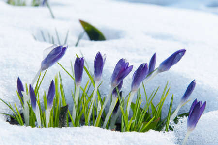 Purple crocuses growing up through the snow in early spring  photo