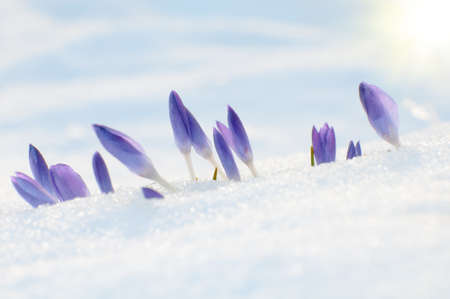 Purple crocus flowers growing up through the snow in early spring