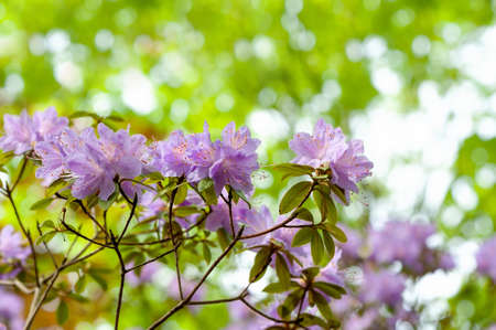Blooming, graceful purple rhododendron in a garden