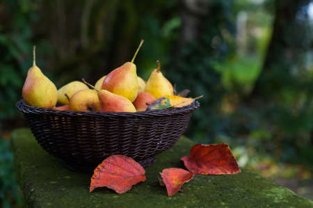 Fresh pears after harvest in a basket, standing on a stone table photo