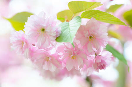 Branch of a blossoming Japanese cherry tree Prunus serrulata in spring withbeautiful Pink Blossoms close up photo