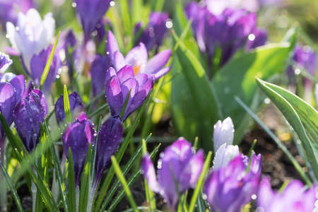Crocuses in different shades of purple in early spring after rain.