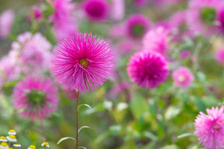 Pink aster flowers in a garden in autumn