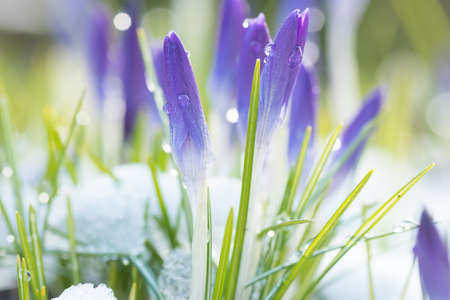 Purple crocuses blooming in the melting snow in early spring.