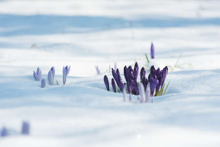 Different purple crocuses grow through the snow in early spring. Close up. Imagens