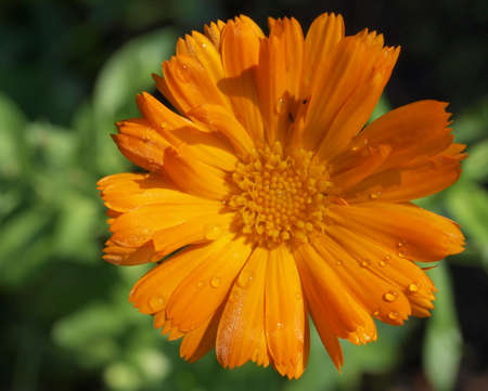 Close-up of a vivid orange medicinal marigold flower (Calendula officinalis) photo